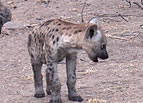 Kruger National Park Hyena