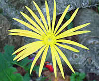 Barberton daisy gerbera Jamesonii courtesy of www.southafricablog.co.za